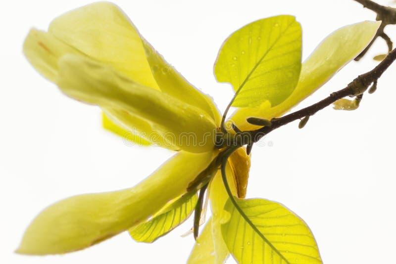 Conceito do fundo natural: flor amarela da magnólia no branche da árvore, fundo branco foto de stock