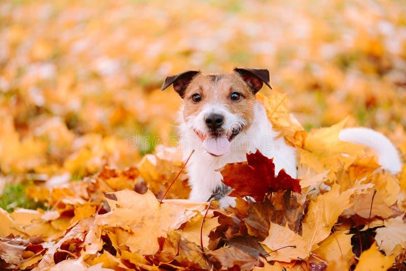 Conceito dourado do outono do verão indiano com cão e as folhas de bordo alaranjadas fotos de stock royalty free