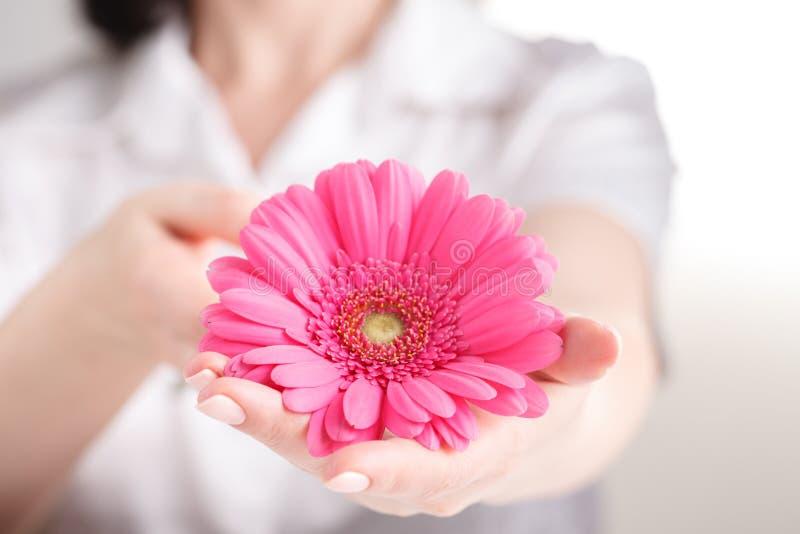 Conceito fêmea dos cuidados médicos, gerbera do floower do rosa da posse da mão imagens de stock royalty free