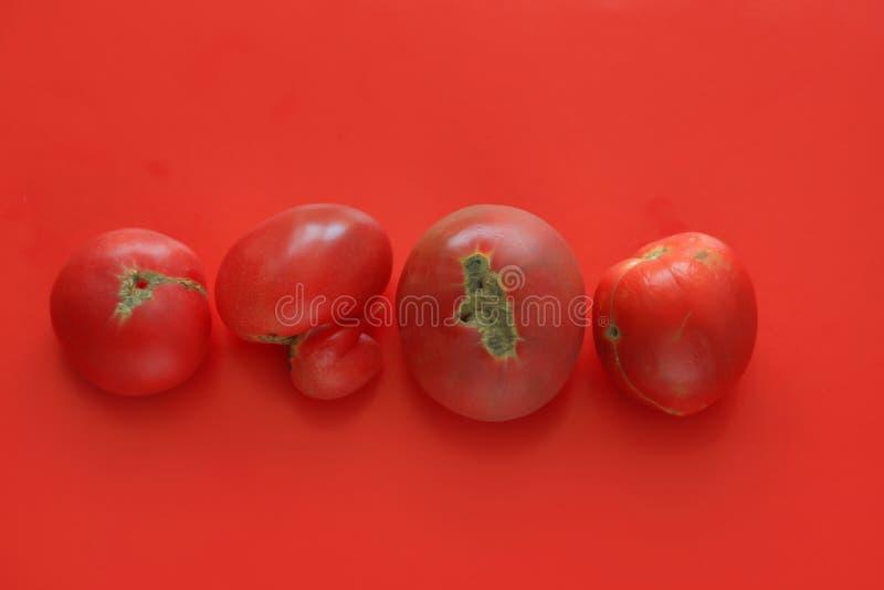 Conceito feio do alimento, tomates deformados no fundo vermelho, espaço da cópia fotografia de stock