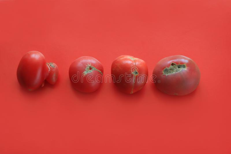 Conceito feio do alimento, tomates deformados no fundo vermelho, espaço da cópia foto de stock
