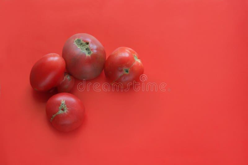 Conceito feio do alimento, tomates deformados no fundo vermelho, espaço da cópia fotografia de stock royalty free
