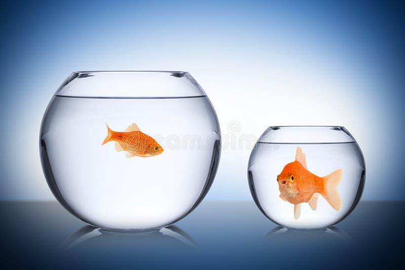 Conceito social da inveja dos peixes imagem de stock royalty free