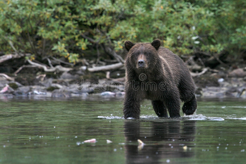 Concentração do urso fotografia de stock royalty free