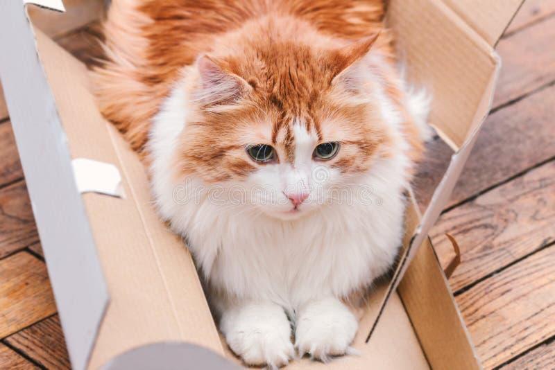 Concentrazione e gatto arrabbiato dello zenzero in scatola fotografia stock