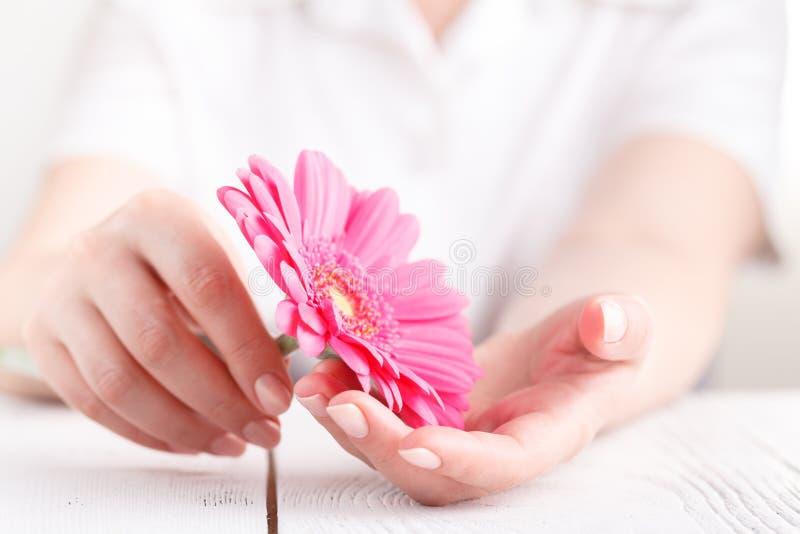 Concepção da higiene da mulher Gerbera cor-de-rosa da flor nas mãos fêmeas imagens de stock