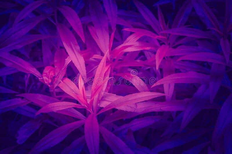 Concept à la mode de l'ultraviolet de couleur Fond ultra-violet d'abrégé sur feuillage image stock