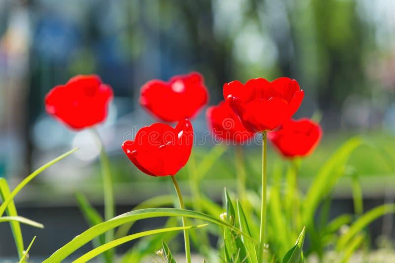 Concept étonnant de nature des tulipes rouges fleurissant sous la lumière du soleil photographie stock
