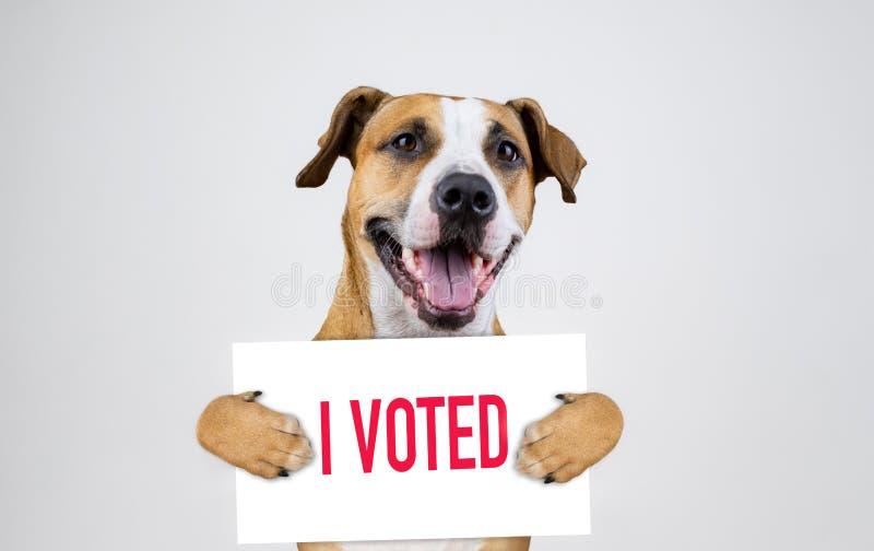 Concept américain d'activisme d'élection avec le chien de terrier du Staffordshire photo libre de droits