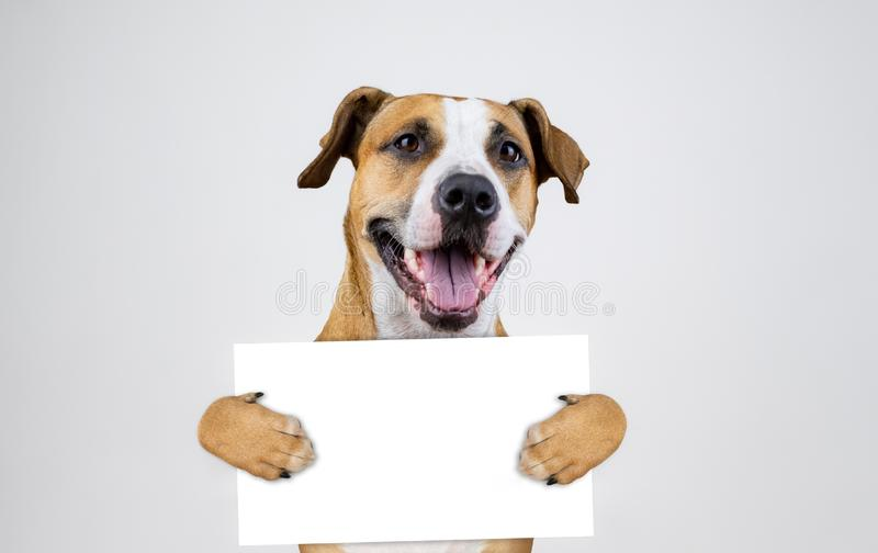 Concept américain d'activisme d'élection avec le chien de terrier du Staffordshire Le terrier drôle de pitbull se tient photo stock