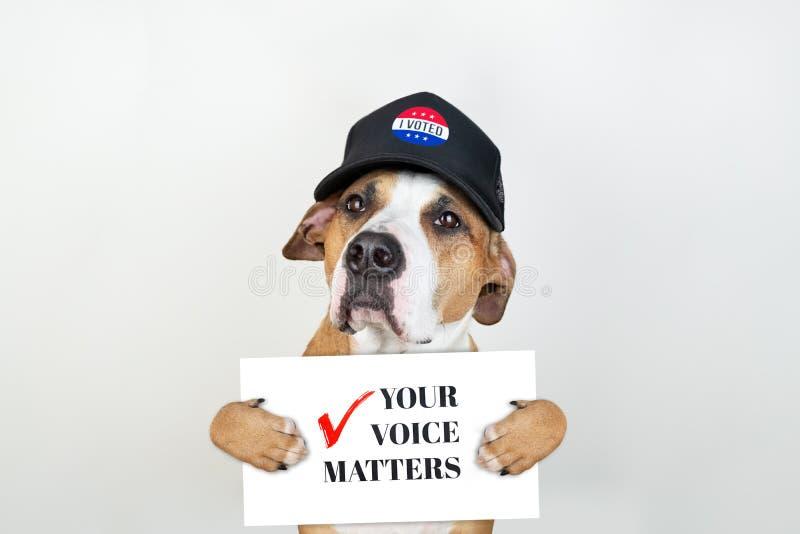 Concept américain d'activisme d'élection : chien de terrier du Staffordshire dans le chapeau de base-ball patriotique images libres de droits