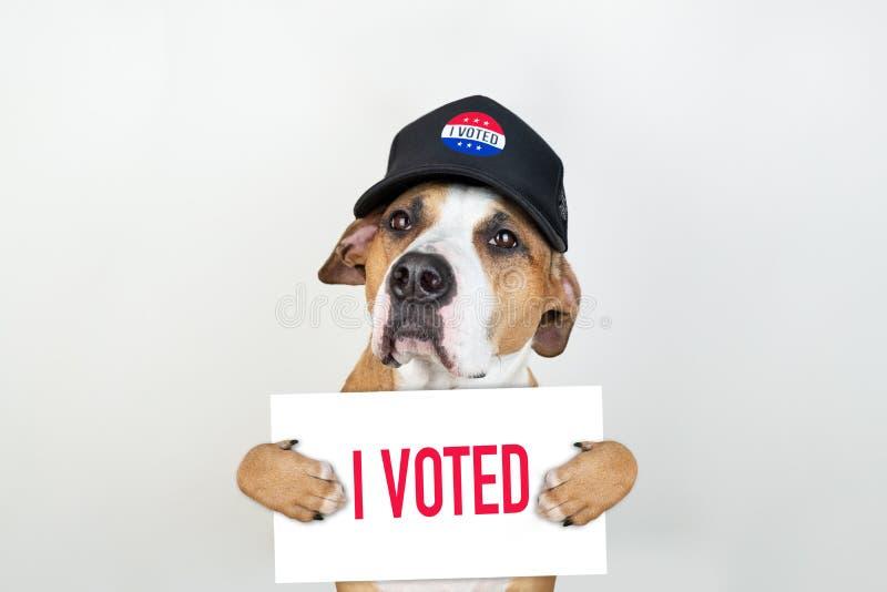 Concept américain d'activisme d'élection : chien de terrier du Staffordshire dans le chapeau de base-ball patriotique photo libre de droits