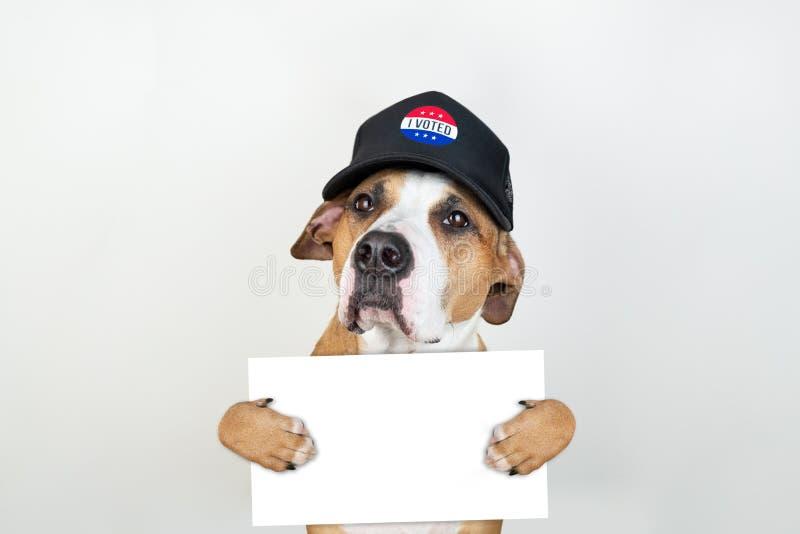 Concept américain d'activisme d'élection : chien de terrier du Staffordshire dans le chapeau de base-ball patriotique photo stock