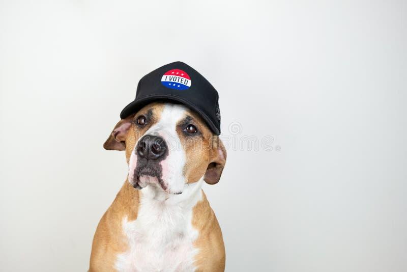 Concept américain d'activisme d'élection : chien de terrier du Staffordshire dans le chapeau de base-ball patriotique Terrier de  photos stock