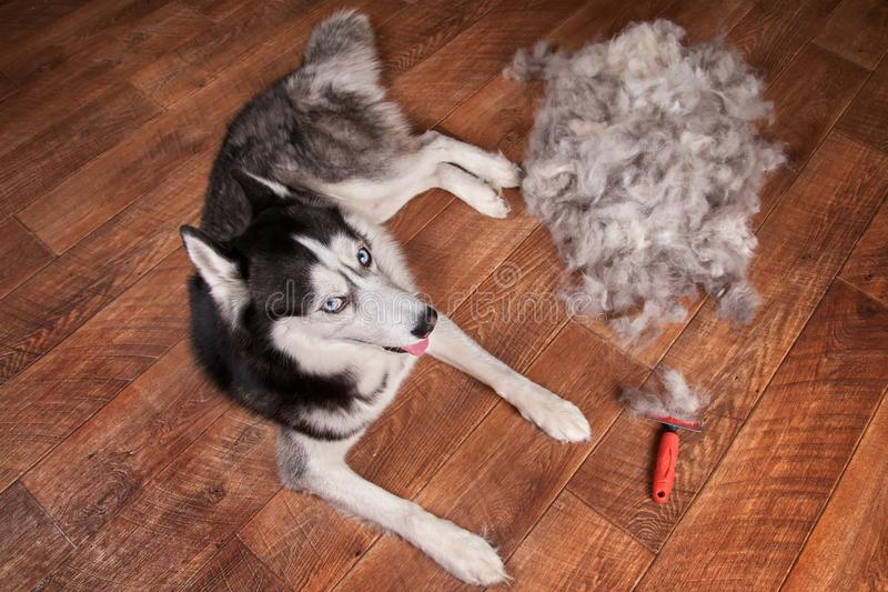 Concept annual molt, coat shedding, moulting dogs. Siberian husky lies on wooden floor next to piles wool and red rakers brush. stock photography