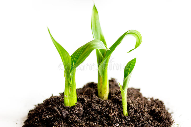 Concept birth of idea- sprout from soil on white background.  royalty free stock images