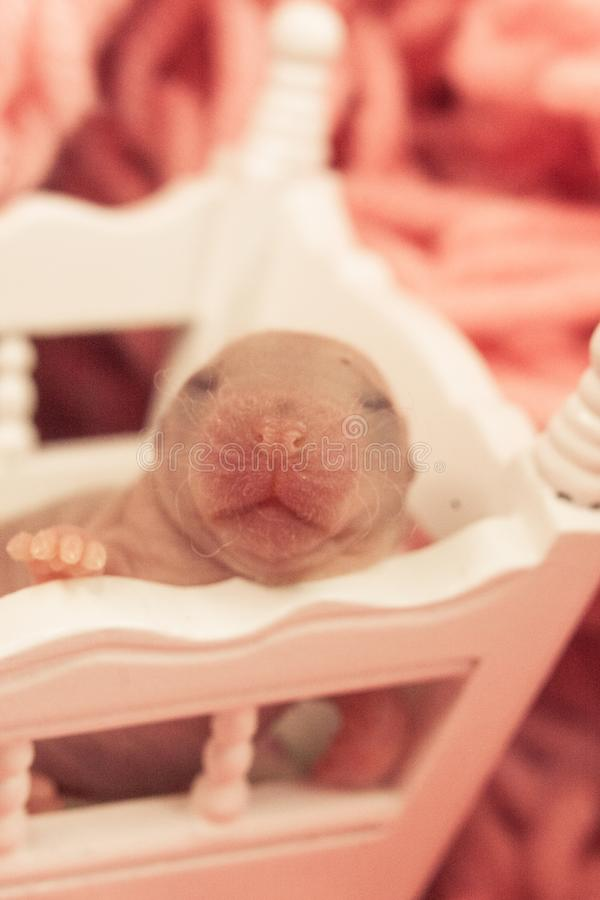 The concept of children`s happiness. Little bald mouse baby royalty free stock photos