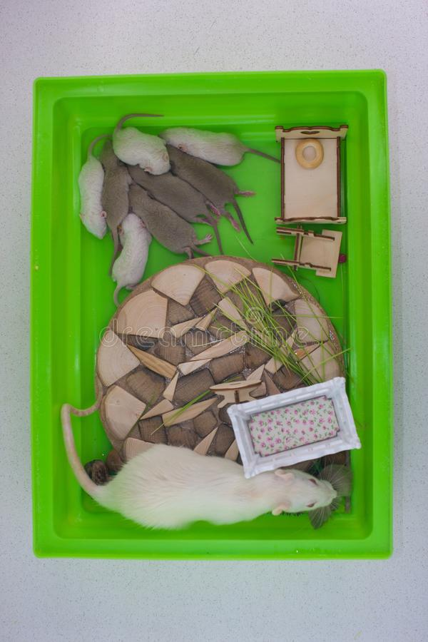 The concept of children`s room. The rat takes care of its offspring. The concept of children`s room. Mom mouse is sitting in a cage with her cubs on the stock photos