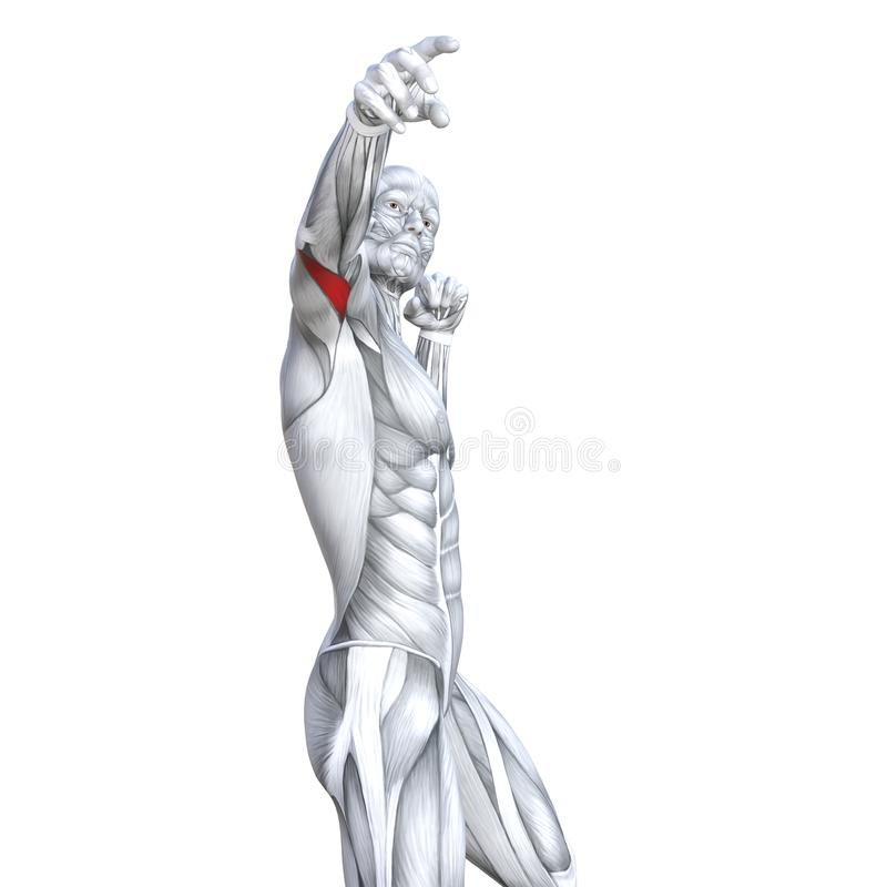 3D illustration chest fit strong human anatomy stock illustration