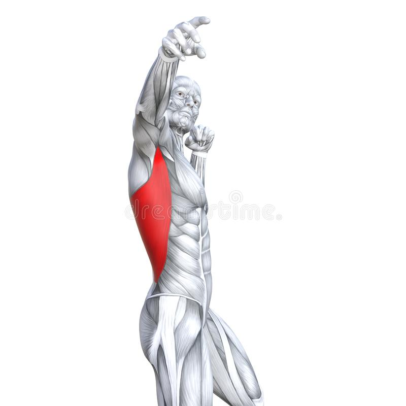 3D illustration chest fit strong human anatomy royalty free illustration