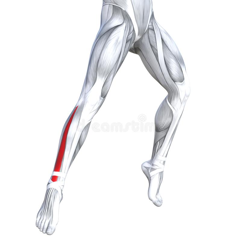 Back upper leg human anatomy. Concept conceptual 3D illustration fit strong front lower leg human anatomy, anatomical muscle isolated white background for body stock illustration