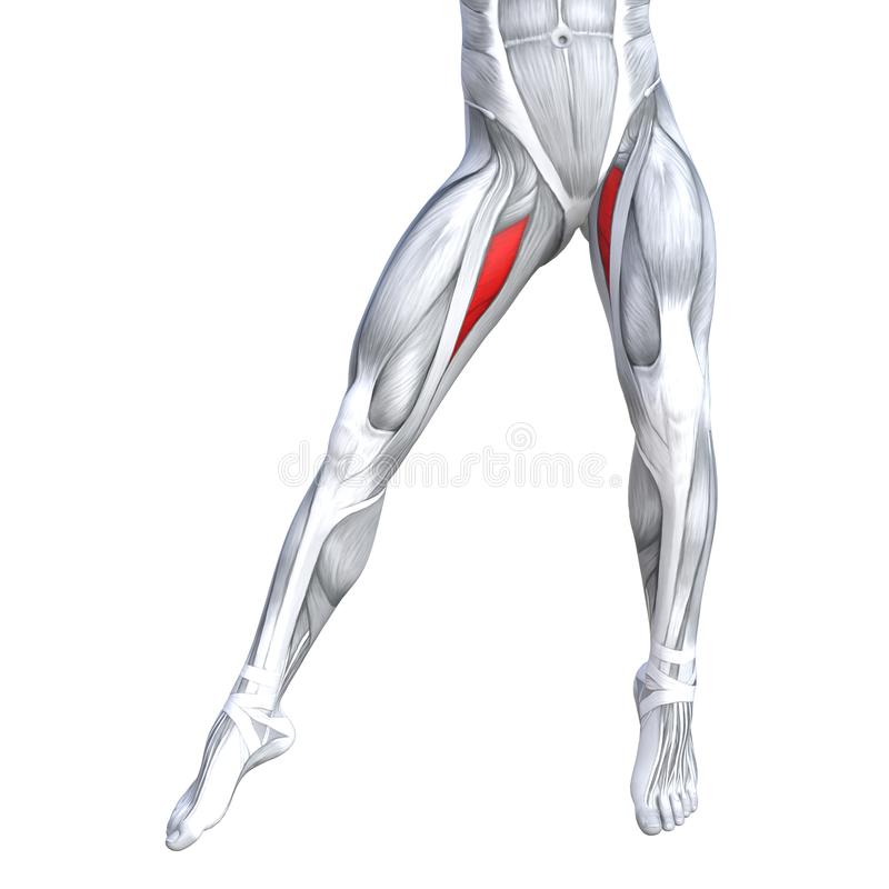 Concept 3D illustration strong front upper leg human. Concept conceptual 3D illustration fit strong front upper leg human anatomy, anatomical muscle isolated royalty free illustration