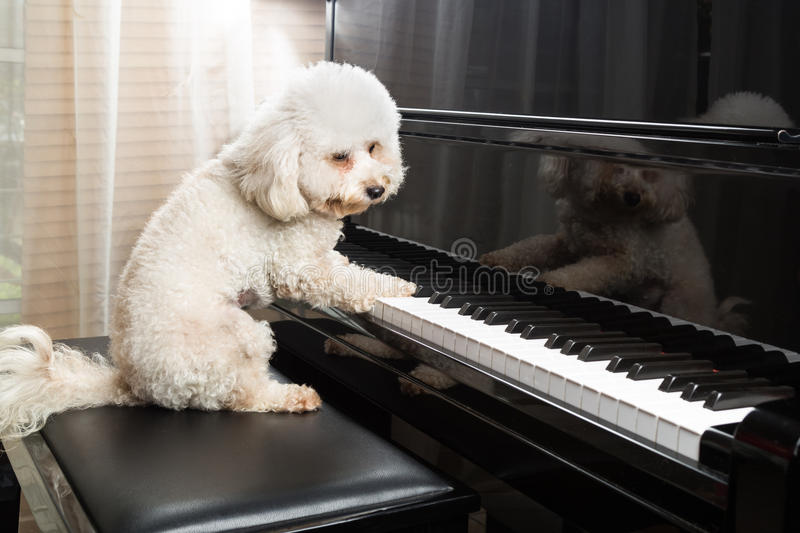 Concept of cute poodle dog playing upright grand piano royalty free stock photos