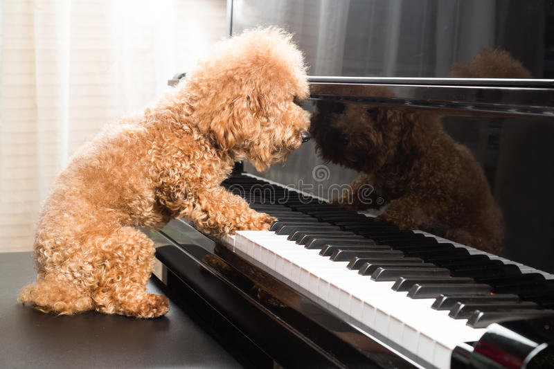 Concept of cute poodle dog playing upright grand piano royalty free stock image