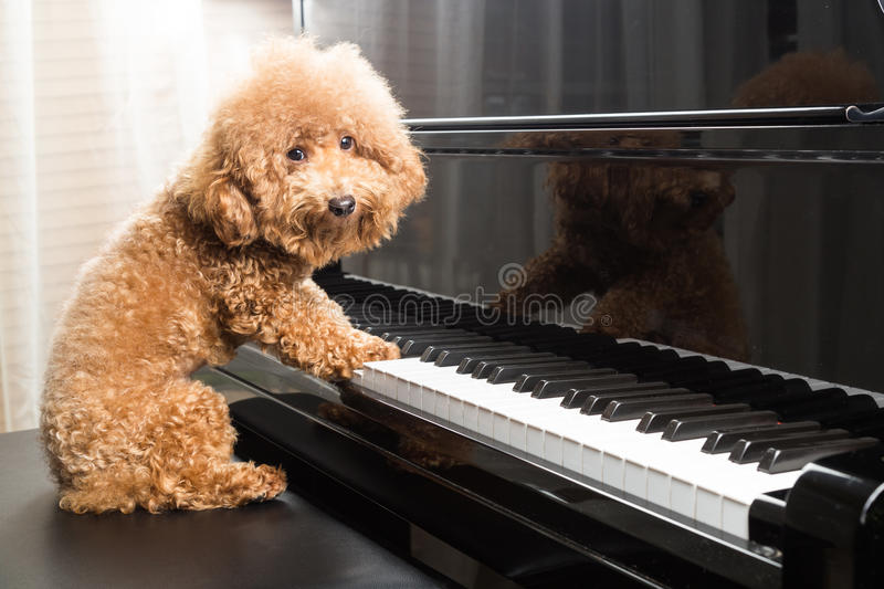 Concept of cute poodle dog preparing to play grand piano royalty free stock images