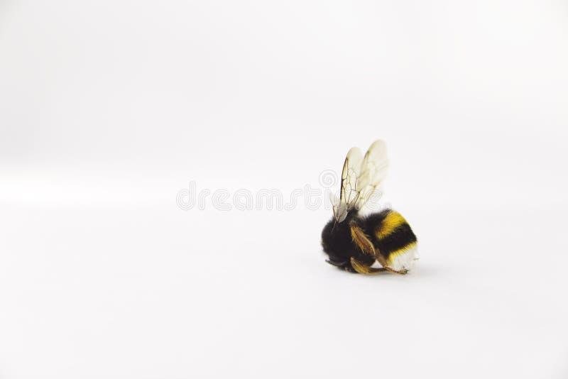 Concept d'alerte de nature : étroit de d'isolement gaffez les morts de Bombus d'abeille au foyer sélectif sur le fond blanc photographie stock