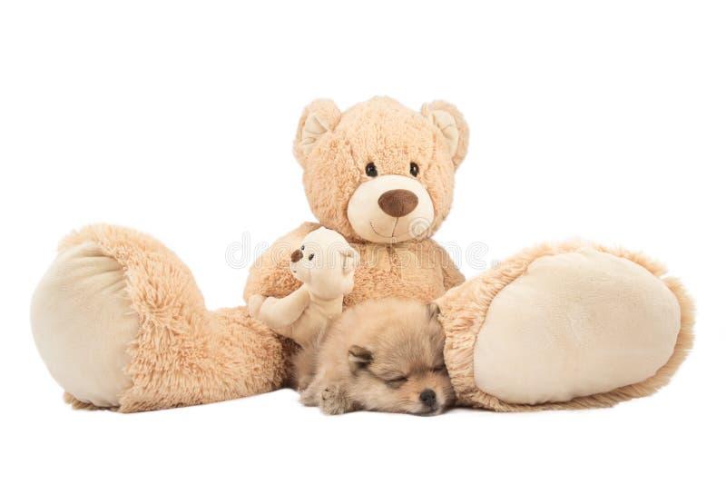 Concept d'amitié Petit chien et ours de nounours pomeranian d'isolement images libres de droits