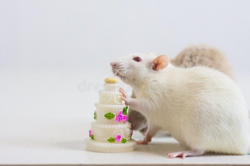 Concept d'anniversaire Blanc de souris un rat mange le g?teau avec a photographie stock