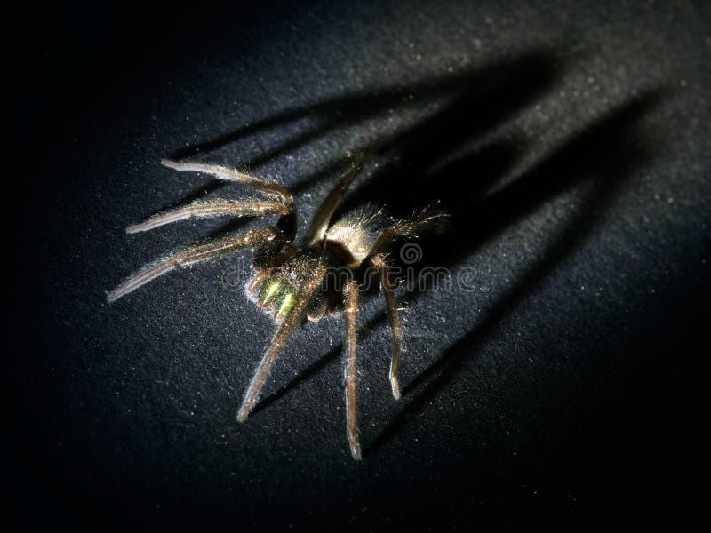 Concept d'Arachnophobia Araignée velue avec la grande, apparaissante indistinctement ombre photo libre de droits
