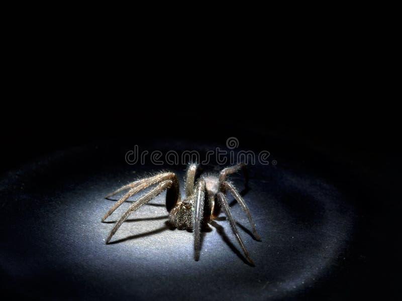 Concept d'Arachnophobia Grande araignée velue dans le projecteur Macro images libres de droits