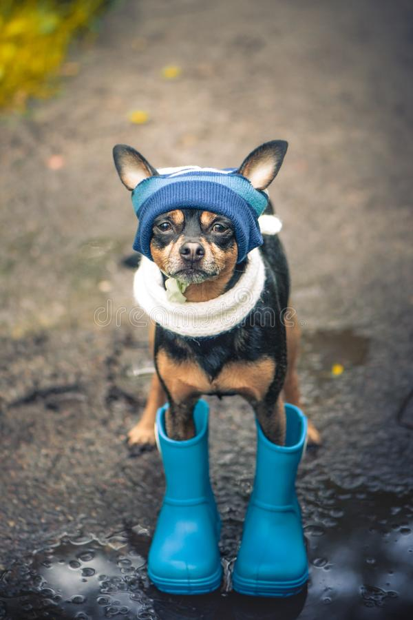 Concept d'automne et pluie, chien drôle dans un chapeau bleu et bottes en caoutchouc regardant vers le haut, photographie stock