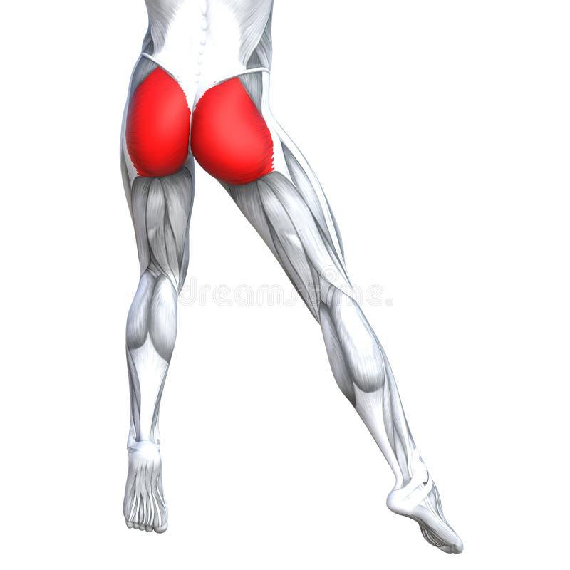 Concept 3D illustration back upper leg human anatomy. Concept conceptual 3D illustration fit strong back upper leg human anatomy, anatomical muscle isolated vector illustration