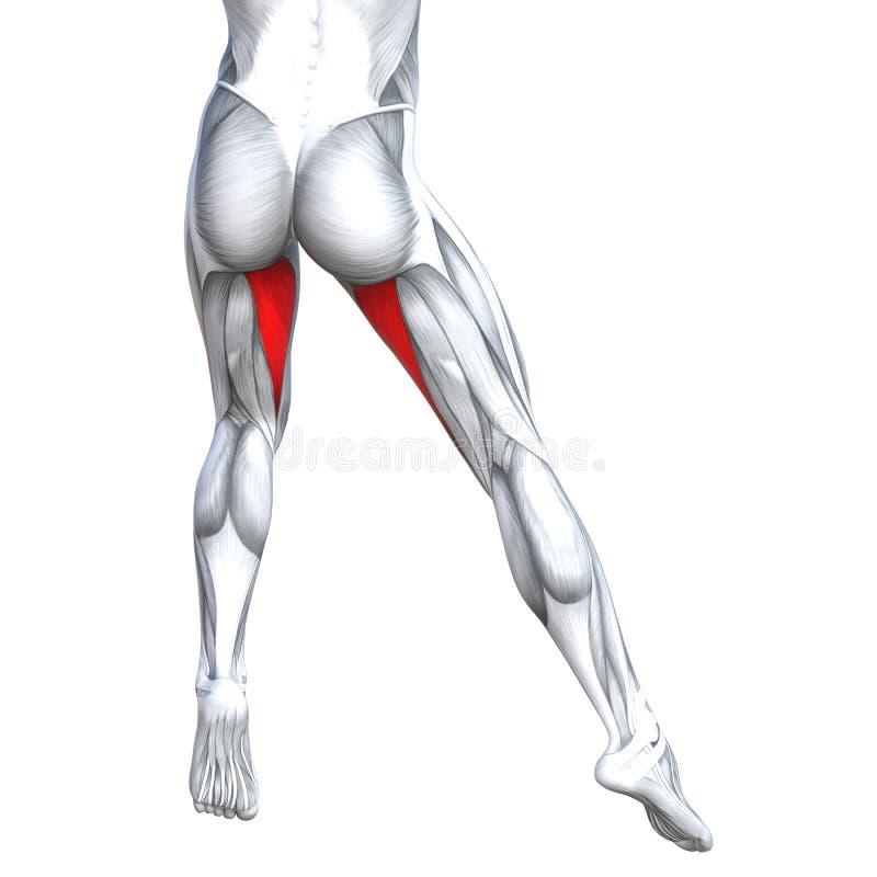 Concept 3D illustration back upper leg human anatomy. Concept conceptual 3D illustration fit strong back upper leg human anatomy, anatomical muscle isolated stock illustration