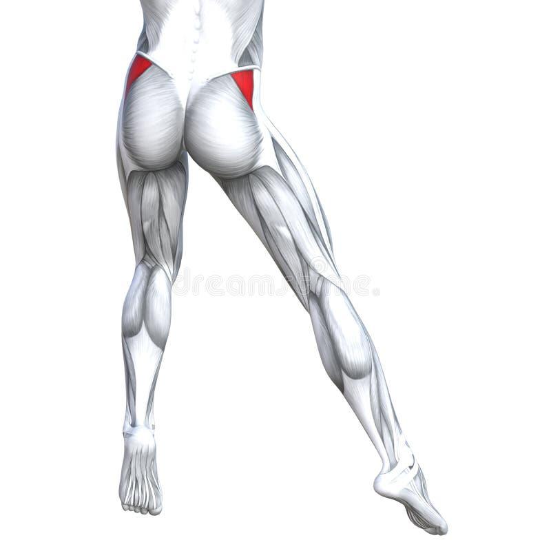 Concept 3D Illustration Back Upper Leg Human Anatomy Stock ...