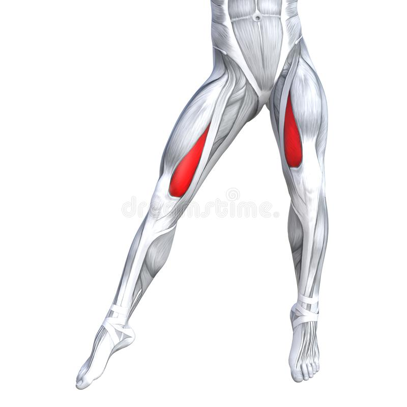 Concept 3D illustration front upper leg human anatomy. Concept conceptual 3D illustration fit strong front upper leg human anatomy, anatomical muscle isolated royalty free illustration