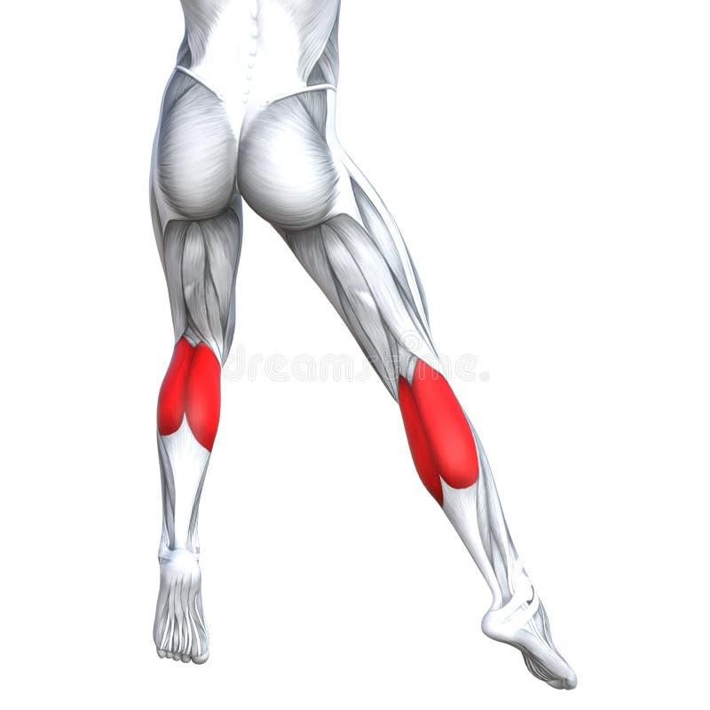 Concept 3D illustration strong back lower leg human. Concept conceptual 3D illustration fit strong back lower leg human anatomy, anatomical muscle isolated white vector illustration
