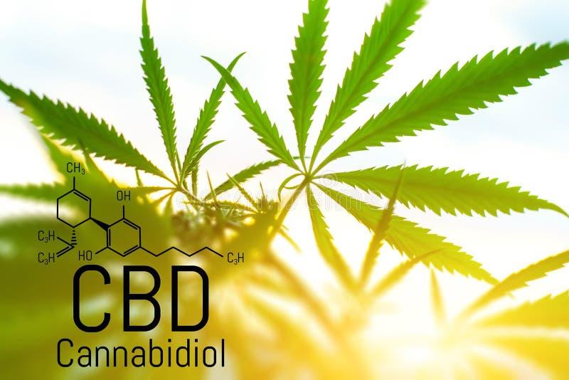 Concept de cannabis comme rem?de universel, huile pharmaceutique de CBD Concept d'employer la marijuana pour des buts m?dicinaux  illustration stock