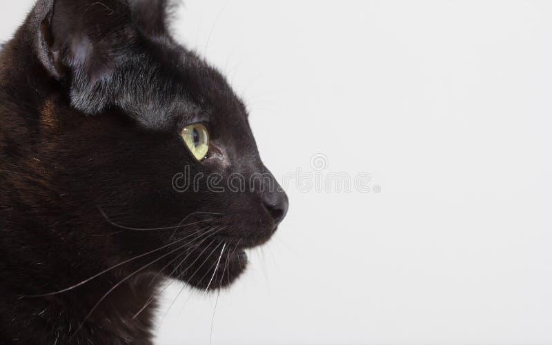 Concept de Halloween, chat noir Portrait de profil de l'animal familier domestique l photo libre de droits