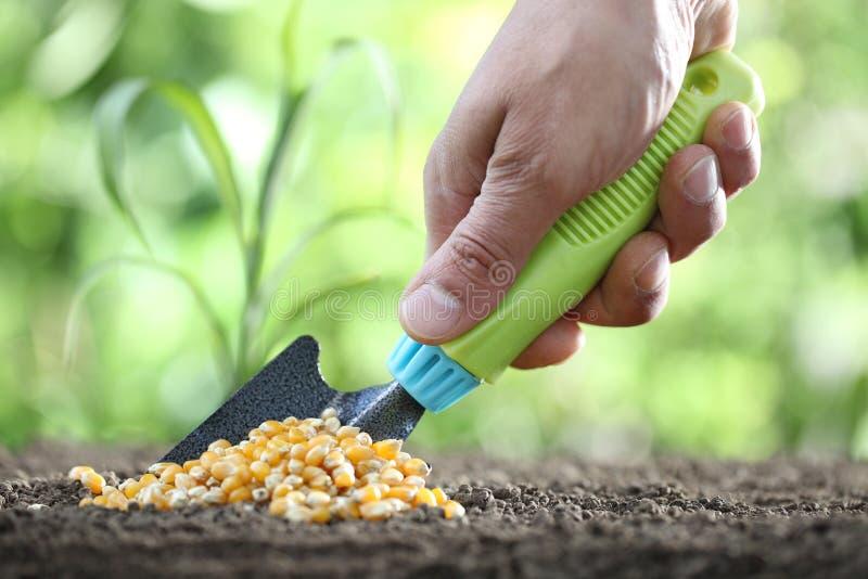 Concept de l'ensemencement, main avec l'outil, graines de maïs dans le sol, fin  photographie stock