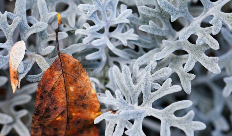Concept de nature contrastante d'automne Belle feuille de jaune brun texturée sur une plante décorative à feuilles blanches photo stock