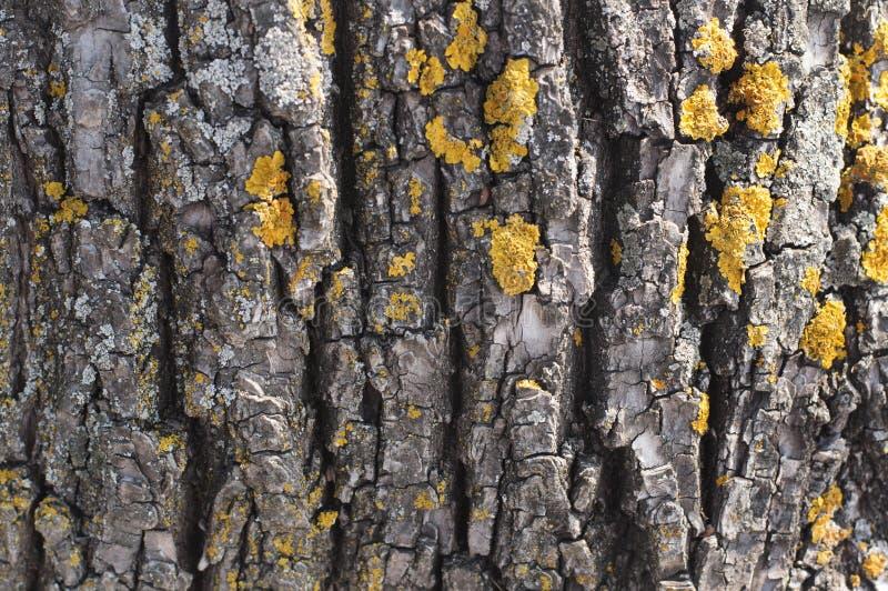 Concept de plan rapproché de nature d'arbre d'écorce - écorce de bois avec le lichen comme a images libres de droits
