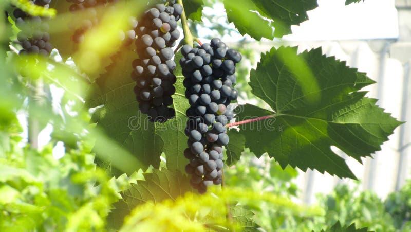 Concept de récolte de raisin Raisins mûrs photo libre de droits