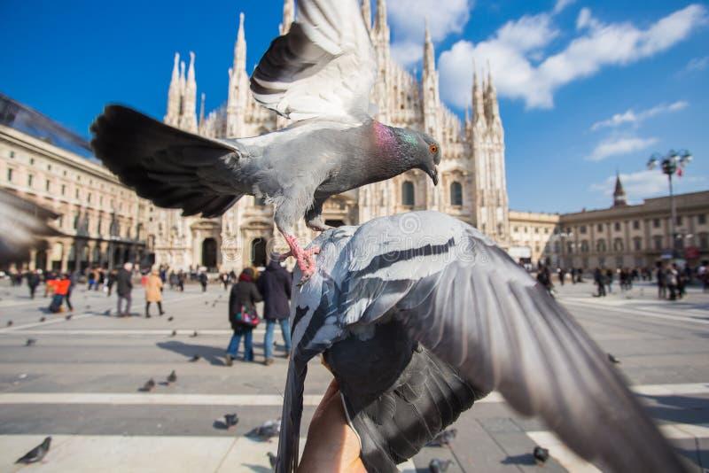 Concept de voyage, de l'Italie et d'oiseaux - les pigeons dr?les mange ? la main devant la cath?drale de Duomo, Milan images stock