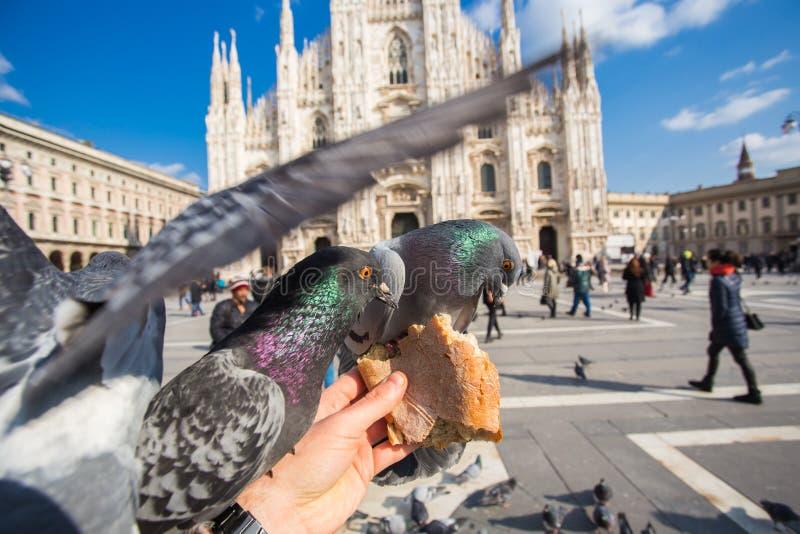 Concept de voyage, de l'Italie et d'oiseaux - pigeons funy de alimentation de la main devant la cath?drale Milan de Duomo image libre de droits