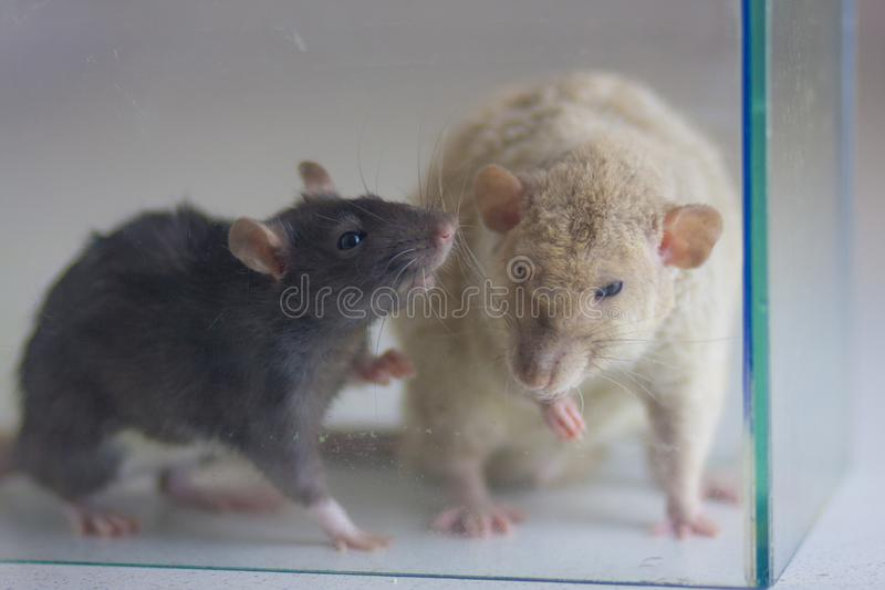 The concept of dialogue. Mice communicate with each other. The royalty free stock image