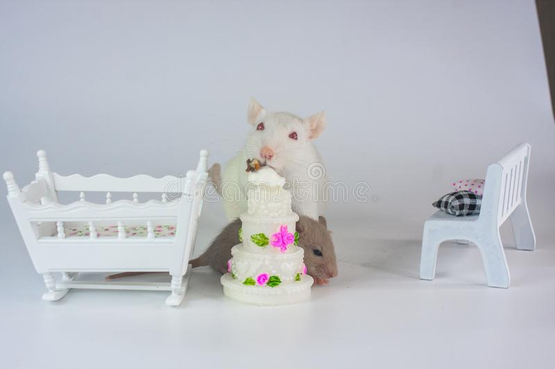 Concept of diet. A rat bites a cake. Mouse eats cake. royalty free stock image